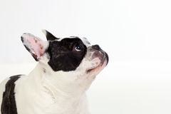 Portrait in Studio of a cute bulldog Stock Photo