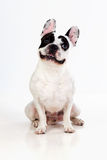 Portrait in Studio of a cute bulldog Royalty Free Stock Photography
