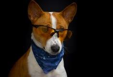 Portrait of  stylish basenji dog wearing yellow glasses and blue kerchief Stock Photo