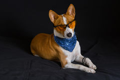 Portrait of stylish basenji dog wearing yellow glasses and blue kerchief Royalty Free Stock Photography