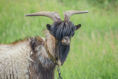 Portrait of stylish goat with bang and beard on background of green meadow. Royalty Free Stock Photo