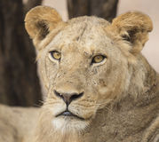 Portrait of a sub-adult male Lion (Panthera leo). Looking at the camera Royalty Free Stock Photography