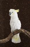 Portrait of Sulphur-crested Cockatoo Stock Images