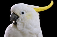 Portrait of Sulphur-crested Cockatoo Stock Photography