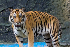 Portrait of sumatran tiger Royalty Free Stock Image