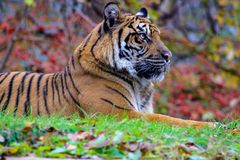 The portrait of Sumatran tiger a beautiful animal that is endangered royalty free stock photo