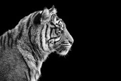 Portrait of Sumatran tiger in black and white stock photo