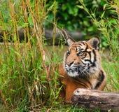 Portrait of Sumatran Tiger Panthera Tigris Royalty Free Stock Photo