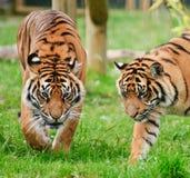 Portrait of Sumatran Tiger Panthera Tigris Royalty Free Stock Photos