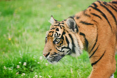 Portrait of Sumatran Tiger Panthera Tigris Royalty Free Stock Image