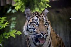 Portrait of Sumatran Tiger. stock image