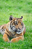 Portrait of Sumatran Tiger Panthera Tigris Sumatre Stock Photo