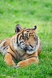 Portrait of Sumatran Tiger Panthera Tigris Sumatre Stock Photo