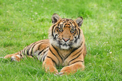 Portrait of Sumatran Tiger Panthera Tigris Sumatre Royalty Free Stock Photos