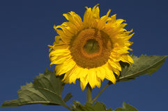 Portrait of the sunflower. The sunflower royalty free stock photography
