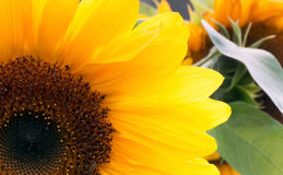 Section of a Sunflower Stock Images