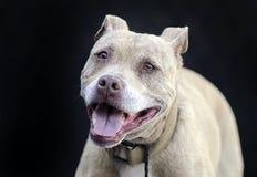 Portrait supérieur bringé bronzage de Pitbull Terrier sur le fond noir Photo stock