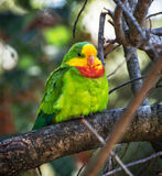 Portrait of Superb parrot - Polytelis swainsonii Royalty Free Stock Images
