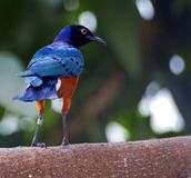 Superb Starling sitting on the tree.
