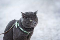 Portrait of suprised russian blue cat outdoor Stock Image
