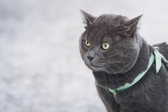 Portrait of suprised russian blue cat outdoor. In harness selective focus Royalty Free Stock Images