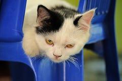 Portrait of a surprised cat persia Straight, closeup. stock photos