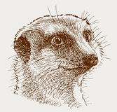 Portrait of a surprised mongoose Stock Image