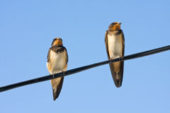 Portrait of swallows Stock Photo