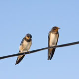 Portrait of swallows Stock Image