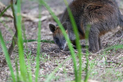 Portrait of a Swamp Wallaby - native Australian marsupial Royalty Free Stock Photo