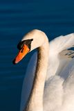 Portrait of swan. This photo watch imposing presence of the animal Stock Image