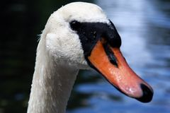 Portrait of a Swan. With water beads and blue water in the background Stock Image