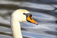Portrait of a swan Royalty Free Stock Photo