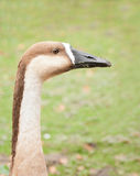 Portrait of a swan goose Royalty Free Stock Photo