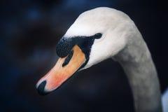 Portrait of a Swan head stock image