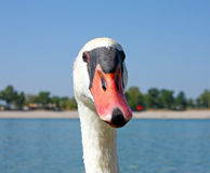 Portrait of a Swan Stock Photo