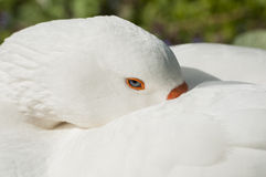 Portrait of a Swan Stock Image