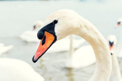 Portrait of swan Royalty Free Stock Photos