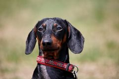 Portrait of sweet black and tan Duchshund dog on green background with look right to the camera, clever and attentive. royalty free stock photos