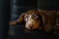 Portrait of sweet little baby Dachshund Royalty Free Stock Photos