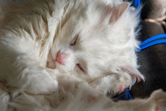Portrait of sweet sleep white cat Royalty Free Stock Photos