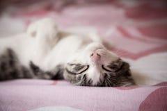 Portrait of sweet sleep white-gray kitten Royalty Free Stock Image