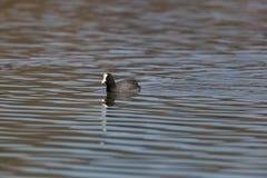 Portrait of swiming black coot Fulica atra. In sunlight Stock Image