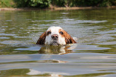 The portrait of swimming dog Royalty Free Stock Photo