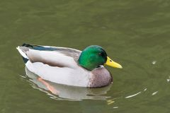 Portrait of a swimming male mallard, Anas platyrhynchos.  Stock Images