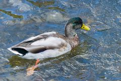 Portrait of a swimming male mallard, Anas platyrhynchos.  stock images