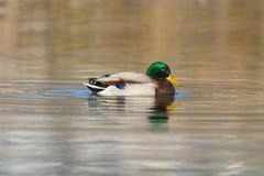 Portrait of swimming male mallard duck anas platyrhynchos. Natural portrait of swimming male mallard duck Anas platyrhynchos Stock Photography