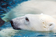 Portrait of swimming polar bear Stock Photos