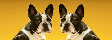 Portrait of symmetrical French Bulldogs over yellow background Stock Photo