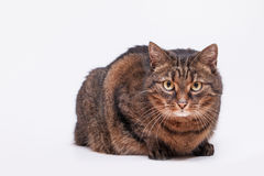 Portrait of tabby adult cat. White background. Copy space Stock Photos